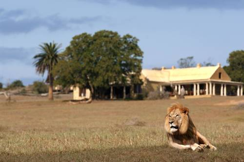 Elegancki lew w Gorah elephant camp