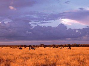 stado antylop pasące się na sawannie Kalahari w Bostwanie