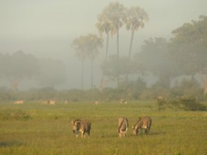 Zebry szukające pożywienia Botswana