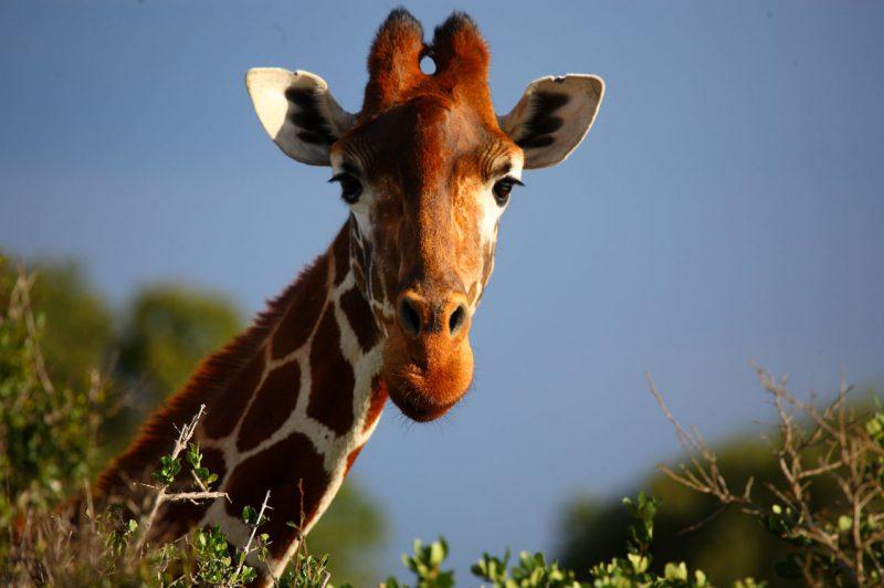 Głowa żyrafy w rezerwat Olpejeta