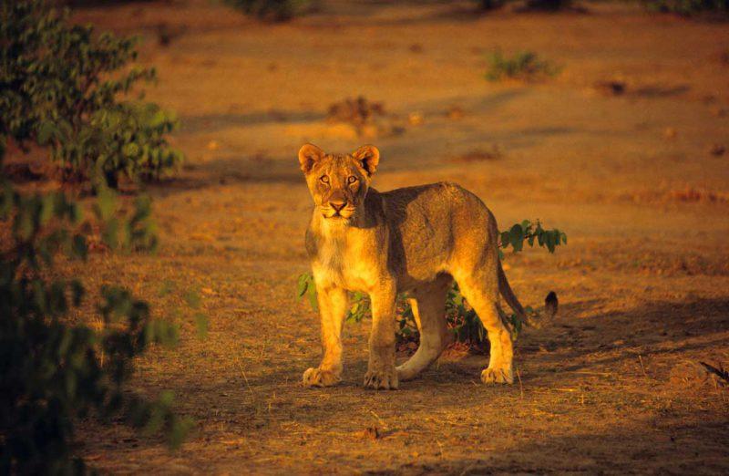 Lew przy zachodzacym słońcu Namibia