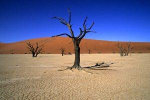 Samotne drzewa na pustyni Numibia