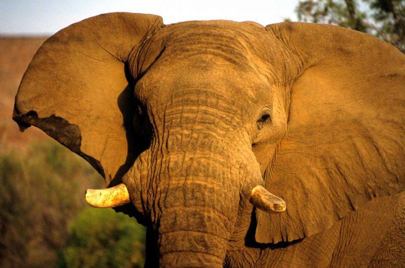 Słoń w przybliżeniu Namibia