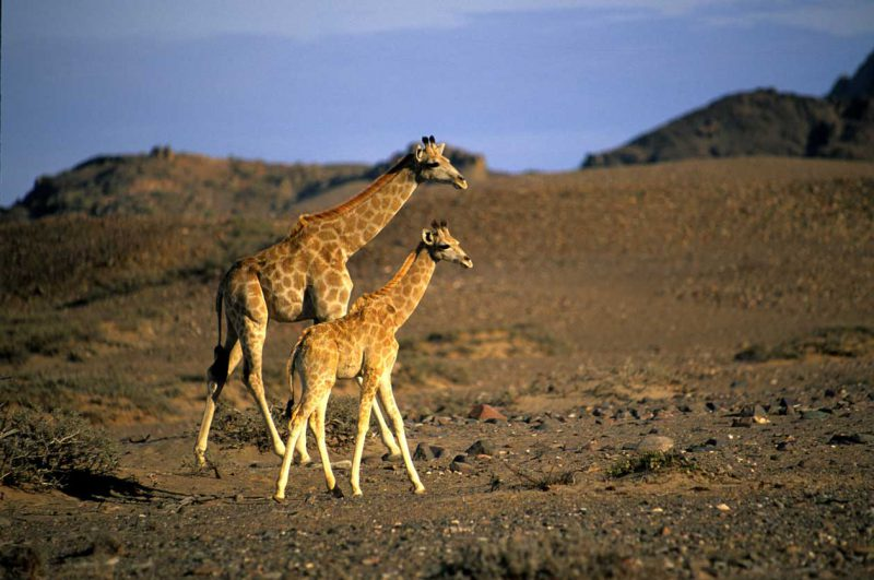 Mała zebra ze swoją mamą, Namibia