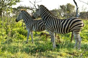 Zebry szukające pożywienia RPA