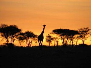 Żyrafa w swoim środowisku
