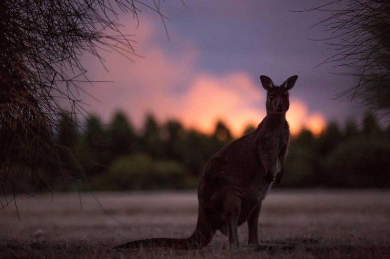kangur na tle lasu późnym wieczorem