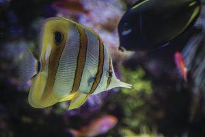 przybliżenie na kolorowe ryby w akwarium, Sydney