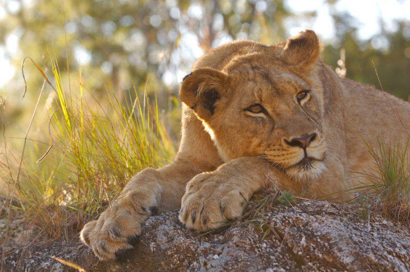 odpoczywający lew Botswana