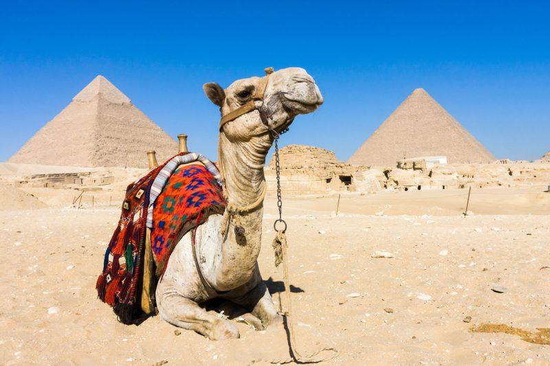 Wielbłąd w pobliżu piramid Egipt