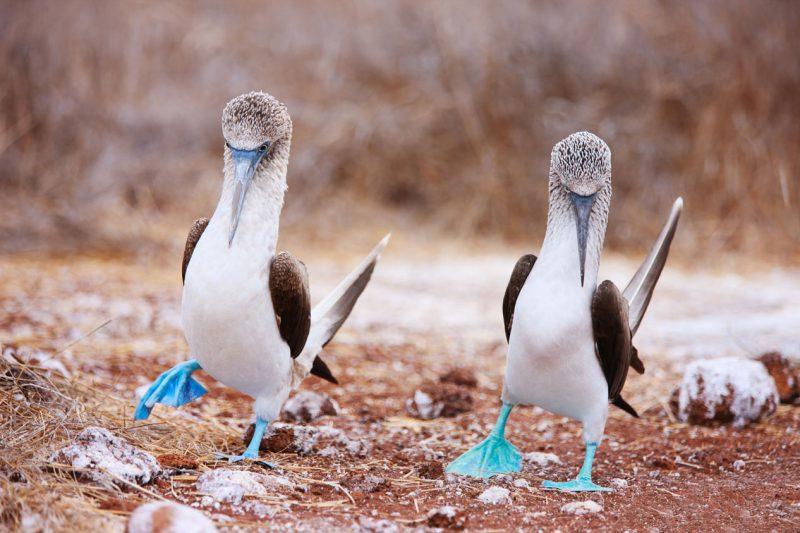 Głuptak niebieskonogi, Galapagos