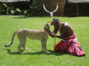 Oswojony gepard w Kenii
