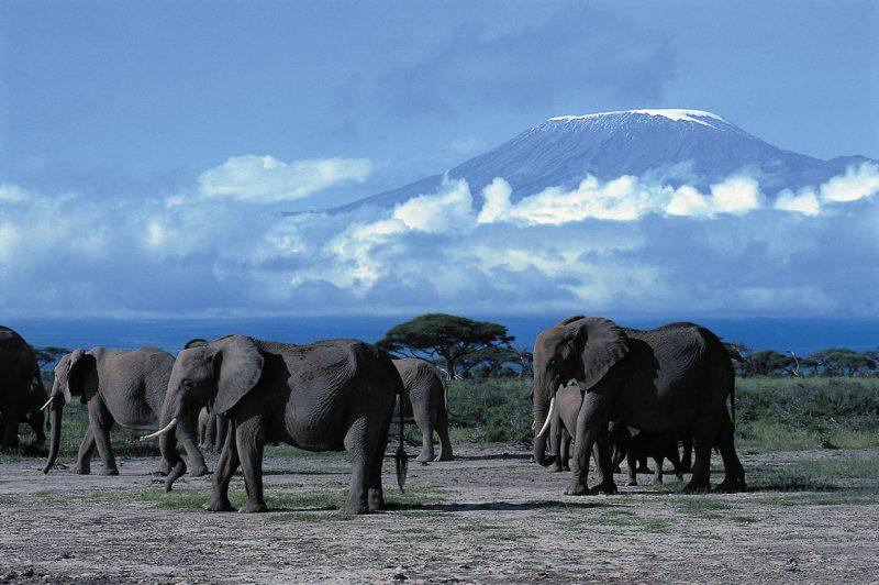 Słonie na kle Kilimandzaro