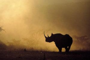 Nosorożec Kenia