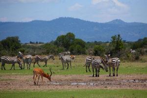 Zebry w rezerwacie przyrody w olpejeta