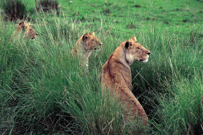 Lwy na safarii Kenia