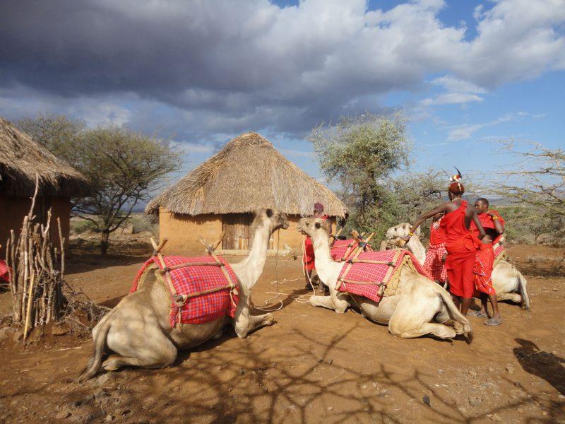 Wielbłądy w wiosce w Kenii