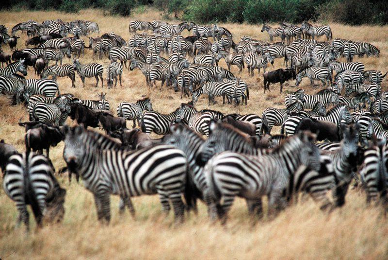 Bardzo duże stado zebr Kenia