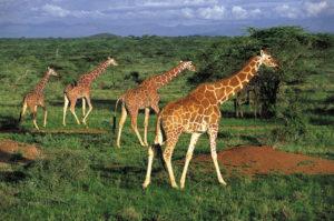 Stado żyraf Kenia