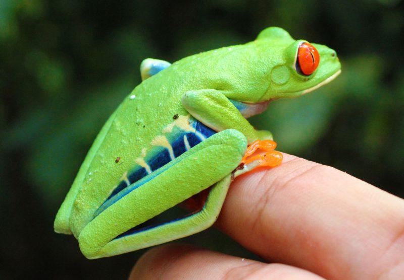 kolorowa żaba siedząca na dłoni człowieka, Kostaryka