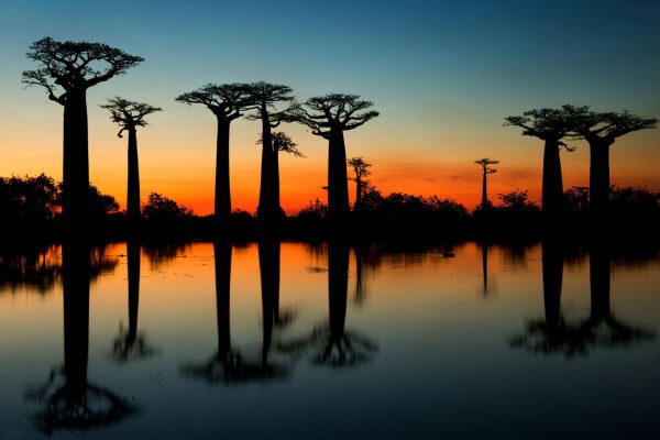 Baobaby przy zachodzie słońca Madagaskar