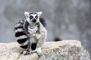 Lemur na Madagaskarze