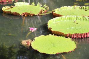 Roślinnośc w ogrodzie botaniczym na stawie mauritius