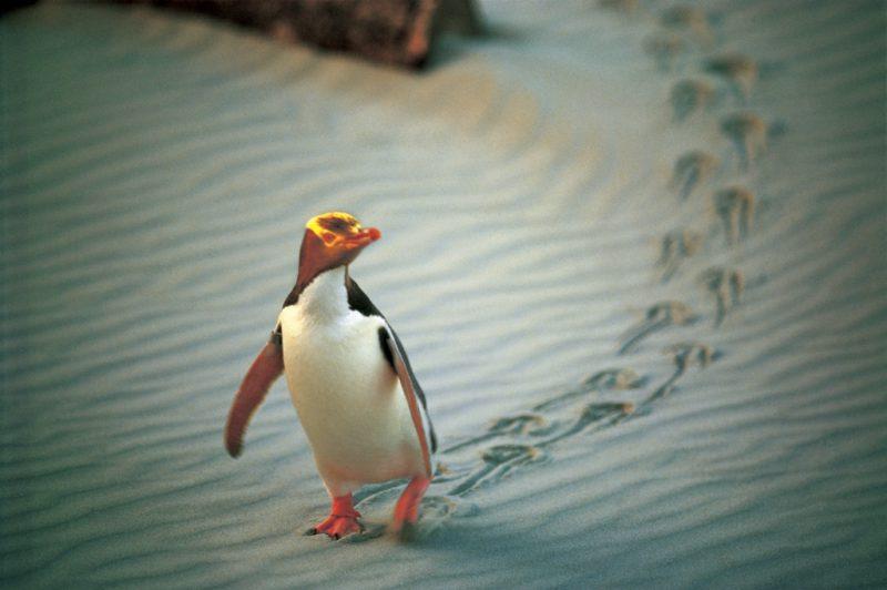 młody pingwin spacerujący piaszczystym brzegiem plaży Central Otago