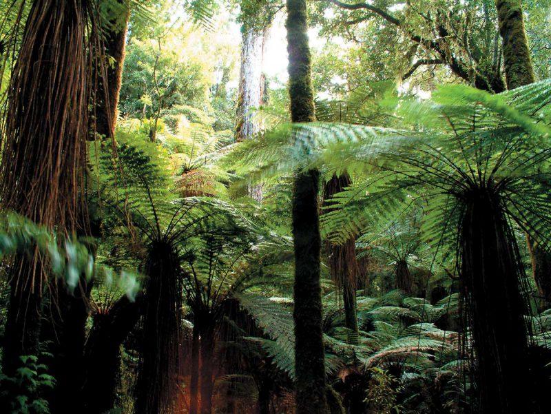 las deszczowy Whirinaki w Nowej Zelandi