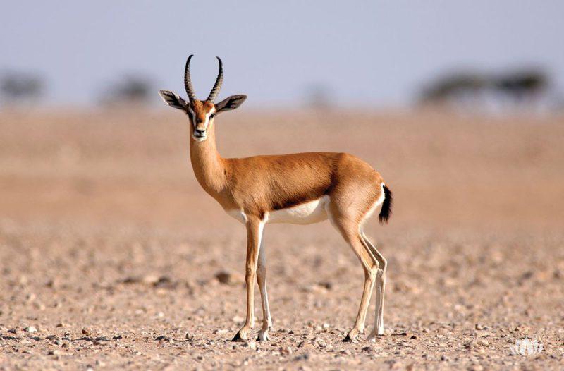 antylopa na pustynii w Omanie