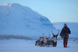 mieszkaniec Laponii prowadzący sanie z reniferami późnym popołudniem, w tle ośnieżone pagórki