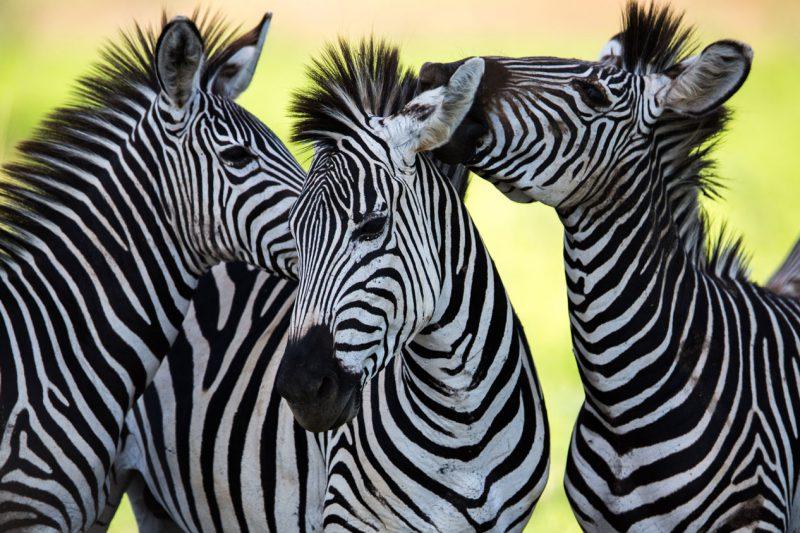 Wspierające się zebry