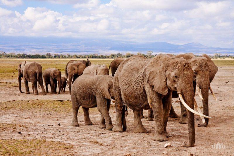 Stado słoni w Kenii