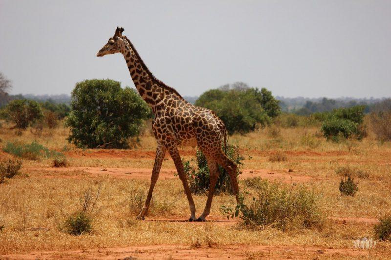 Żyrafa szukająca swojego stada