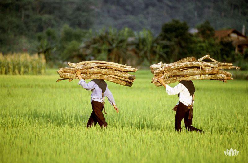 osoby pracujące na polu ryzowym